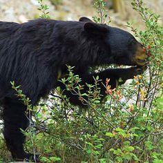 Bear-Proof Your Homestead  Learn how to keep bears away from your homestead.  http://www.grit.com/animals/wildlife/bear-proof-zm0z15jfztri.aspx#axzz3OZ4wCwzA