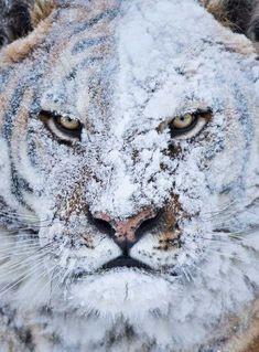 雪で遊んだ後の虎01