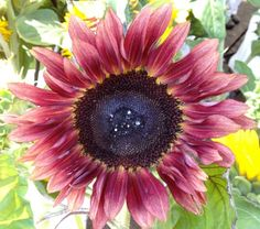 images of variegated sunflowers - Google Search