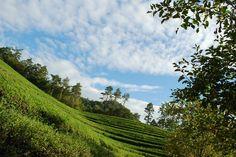 #greentea fields of Bo-seong
