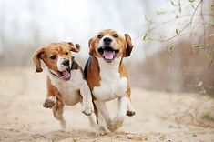 Funny beagles! by Ksuksa-Raykova.deviantart.com on @deviantART