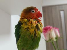 Love Birds, Beautiful Birds, Exotic Birds, Bird Feathers, Cute Pictures, Cute Animals, Creatures, Parrots, Pets