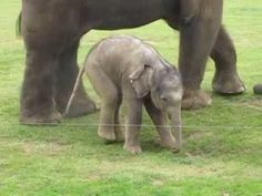 Cute baby elephant's first steps -and steps on his trunk! Hilarious video! - YouTube