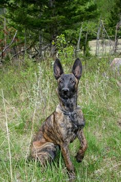bergamasco shepherd dog photo | Dutch Shepherd Dog Club of America a partagé un lien.
