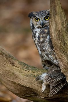 Great Horned Owl with Screech Owl prey   Flickr - Photo Sharing!