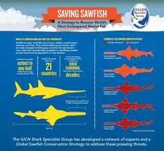 Endangered Sawfish: IUCN Strategy Released as Global Protection Proposed #Sawfish #Infographic
