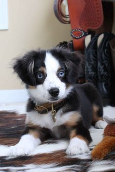 Find Out More On The Smart Australian Shepherd Pups Personality Australian Shepherd Puppies, Aussie Puppies, Cute Puppies, Cute Dogs, Dogs And Puppies, Doggies, Toy Aussie, Australian Sheep, Diy Pet