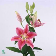 Canberra 'Oriental' Pink lilies are great for flower arrangements for weddings and events! Creating a natural and textured look! Head over to www.trianglenursery.co.uk for more information! Great wholesale prices!