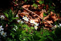Anemoner ved Turup på en smuk forårsdag#tv2vejret #fyn #nature #visitdenmark #naturelovers #natur #denmark #danmark #dänemark #landscape #nofilter #assens #mitassens #vildmedfyn #fynerfin #assensnatur #vielskernaturen #visitassens #instascandinavia #flowers #canon #natgeo #april #spring #forår #instaphoto