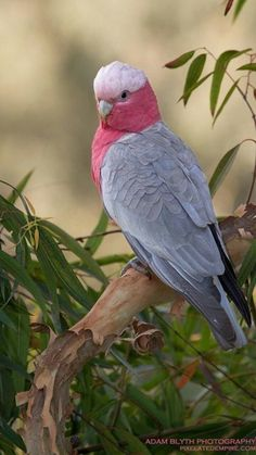 Galah Cockatoo (Eolophus roseicapilla) found in the Philippines East to the Solomon Islands and South to Australia. Cute Birds, Pretty Birds, Beautiful Birds, Animals Beautiful, Cute Animals, Tropical Birds, Exotic Birds, Colorful Birds, Galah Cockatoo