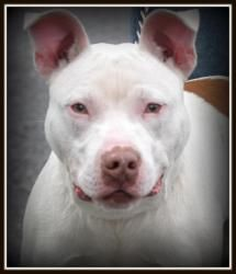 Piglet is an adoptable Pit Bull Terrier Dog in Warren, OH. Piglet is the most precious handsome boy!!! He is about 1 year old, and weighs 44 lbs. Available for rescue/adoption 2.23.13.   *Must be ...