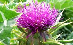 Milk Thistle is an herbal supplement that detoxifies and protects vital liver functions and more. Milk thistle has been used for over years. Liver Detox Drink, Liver Detox Cleanse, Detox Your Liver, Kidney Cleanse, Natural Cleanse, Natural Detox, Natural Cures, Natural Wonders, Natural Healing