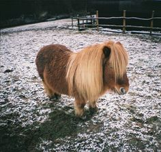 Shetland ponies- only horses I like Animals Of The World, Animals And Pets, Farm Animals, Baby Animals Super Cute, Cute Funny Animals, Beautiful Horses, Animals Beautiful, Miniature Ponies, Tiny Horses