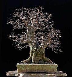 Bonsai 1487