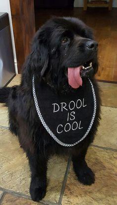 Harley my Newfoundland Dog