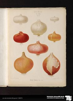 Ernst Benary, Onions from Album Benary, 1876-1886. Universitätsbibliothek TU Berlin