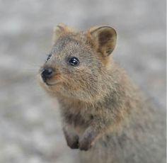 The most precious animal ever, the Quokka Cute Funny Animals, Funny Animal Pictures, Nature Animals, Baby Animals, Quokka, Grumpy Cat Humor, Animal 2, Animals Beautiful, Mammals