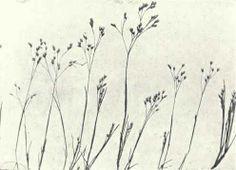 Silvery Hair Grass