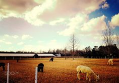 Alpacas at a farm on Maryland's eastern shore - Caroline County, MD