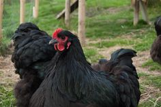 Black Orpington Hen...This image is a part of a free collection of 50 pictures that can be downloaded if you join the my mailing list. I'll also send you a free Ebook about the best egg laying chickens as well. Just click the link in the pin for more details Free Images For Blogs, Best Egg Laying Chickens, Farm Animals, Join, Pictures, Collection, Black, Photos, Black People