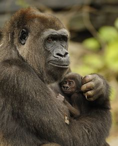 Endangered Gorilla Born at Disney& Animal Kingdom - ZooBorns Mother And Baby Animals, Cute Baby Animals, Animals And Pets, Wild Animals, Primates, Gorillas In The Mist, Baby Gorillas, Beautiful Creatures, Animals Beautiful