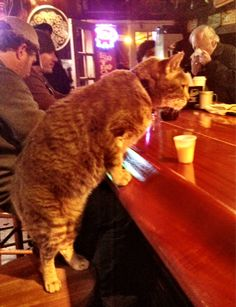 Mr Wu the New Orleans Bar Cat - he walked in the door after Hurricane Katrina, was served some cream, and took it upon himself to never leave.