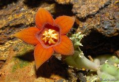 Piaranthus decipiens (Stapeliad succulent flower from South Africa).