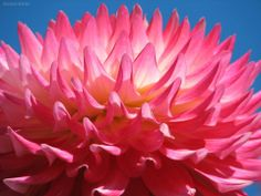 Pink in the Sky of Blue, Dahlia Flower