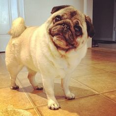 This is Tootsie . What a sweet little pug!