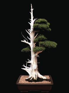 The California juniper shown here is estimated to be 250 years old, and has reached a height of around 48 inches. Trained for more than 20 years, this tree was allowed to acclimate and strengthen before it was shaped. The dead wood on one side of the bonsai suggests that harsh desert winds might have killed and polished the wood. Although the exposed surface roots are dead, they still provide a stable base.