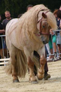 Palatinate Ardennes stallion Casparo