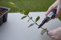 How to Propagate a Jasmine Vine (with Pictures) | eHow