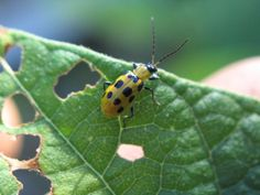 Растителен контрол на вредителите-неприятелите - Буболечки - Пермакултура Farming, Animals, Animales, Animaux, Animal, Animais