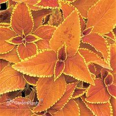 'Rustic Orange' Coleus