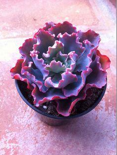 Succulent Plant 2 'Blue Curls' by SucculentOasis on Etsy, $17.00