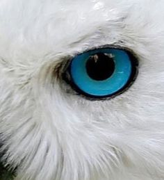 95 Owl Eyes Close Up Iridology And Owl S Eyes Ornithology Owls