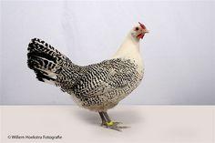 Assendelfter Chicken - Google Search