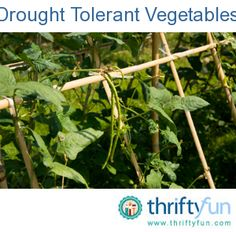 There is a growing movement among gardeners to be more water wise about what they plant. Here are some common edibles considered drought tolerant, and some tips that will help you conserve water when the weather turns dry.