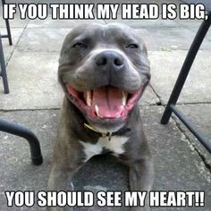 12 Reasons Why You Should Definitely Fall In Love With A Pit Bull – AngusPost