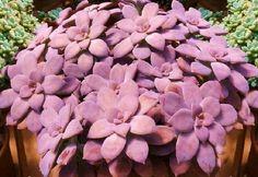 Graptopetalum Pentandrum Exotic Succulent