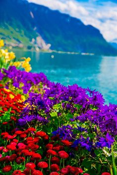 Tulips of Switzerland, Spring time, flowers with the Swiss Alps in the background, Lake Geneva