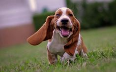 Are Basset Hounds easy to train? | Basset Hound Dogs and Puppies
