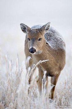 the beauty of #wildlife in winter ... #deer ...