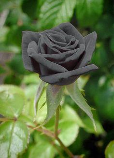 ¿Crees que es resultado del photoshop o es solo una rosa pintada? Te equivocas, es su color natural. Esta es una muy rara variedad de ro...