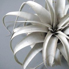 Tillandsia xerographica.... only if they came in a dark blue/purple :)