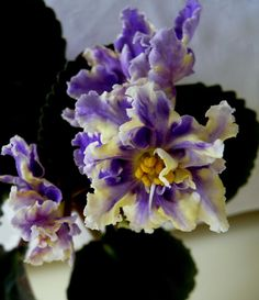 African Violet plug plant- RS Zar Ptica ( Russian variety)