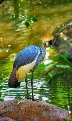 Grey Crowned Crane Bird By AlMuhammady Photography On