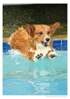 You go Corgi! It's pool time. Z
