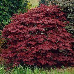 Japansk Blodlönn 50-60cm - Prydnadsbuskar - Växter & plantor - Bygghemma.se Acer Palmatum, Garden Plants, Yard, Nature, Gardening, Converse, Deck, Outdoors, Google