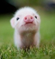baby pigs are one of my fav.